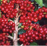 bacche kopi luwak