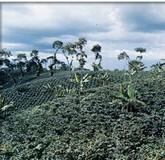 piantagioni
