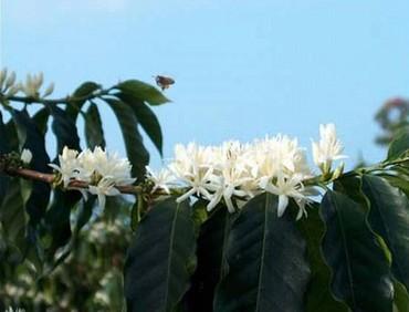 Il caffè dai fiori di gelsomino..